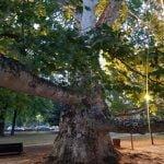 Srbija – Topčiderski park, Platan kod Miloševog konaka